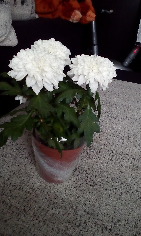 Хризантема. Уход за цветком в домашних условиях, фото 10