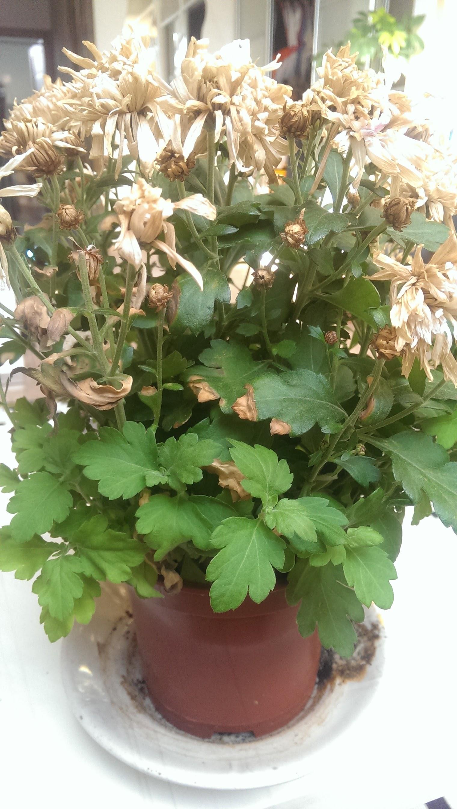 Хризантема. Комнатная. Выращивание и уход в домашних 35