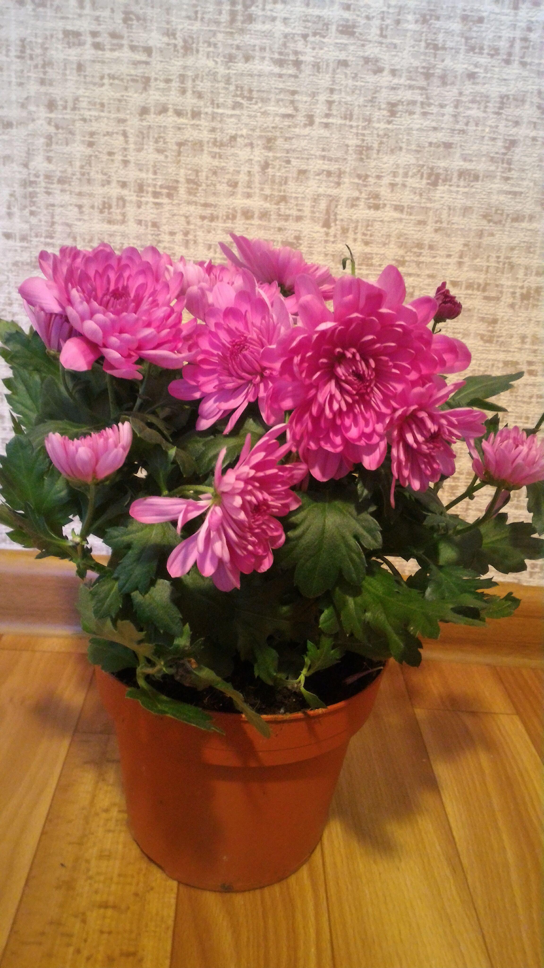 Хризантема. Уход за цветком в домашних условиях, фото 6