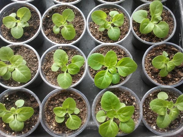 Как вырастить рассаду петунии для пышного и долгого цветения