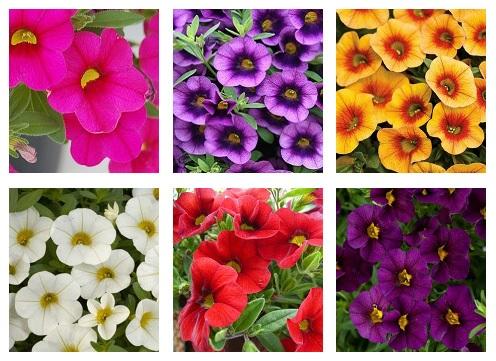 Калибрахоа - фото цветков поражает воображение