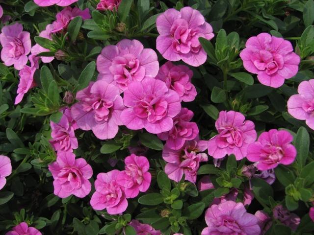Махровые цветы калибрахоа