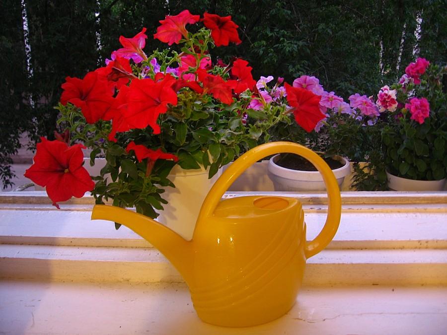 Как правильно поливать петунию