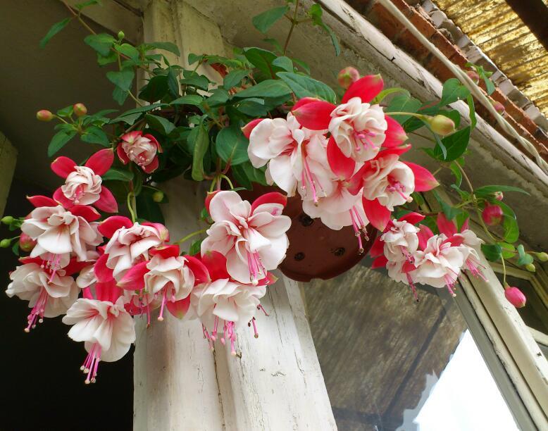 Цветы на северном балконе - ампельные фуксии