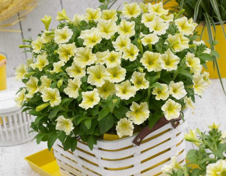 цветок сурфиния Surfinia Yellow