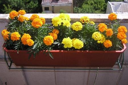 Бархатцы: посадка и уход, Цветок в доме