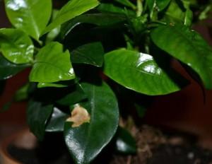 problemi s gardeniei