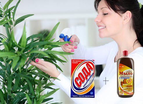 Как вылечить ком цветы от мучнистой росы thumbnail