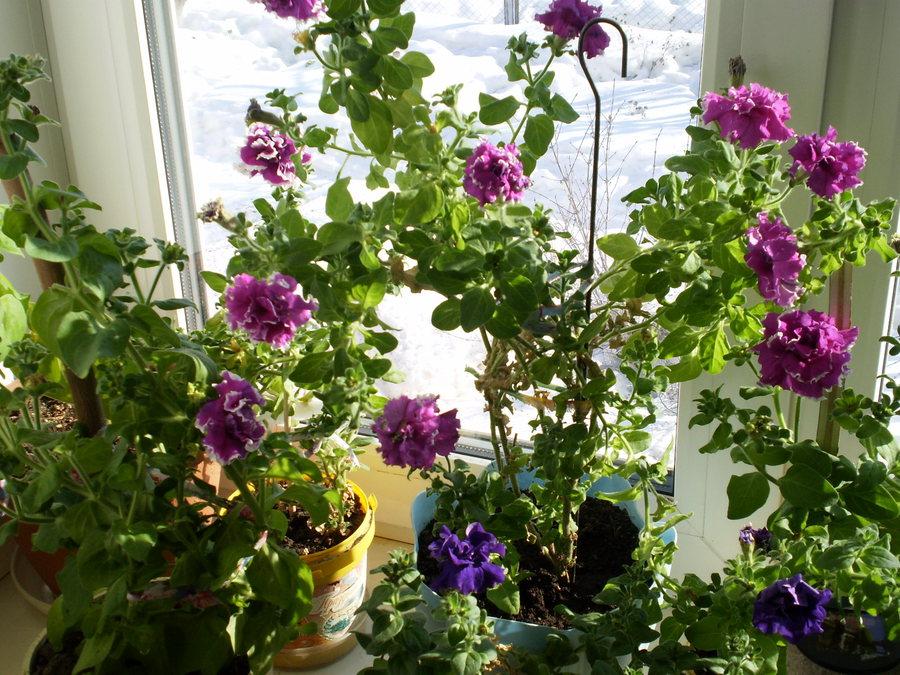 Как сохранить петунию зимой