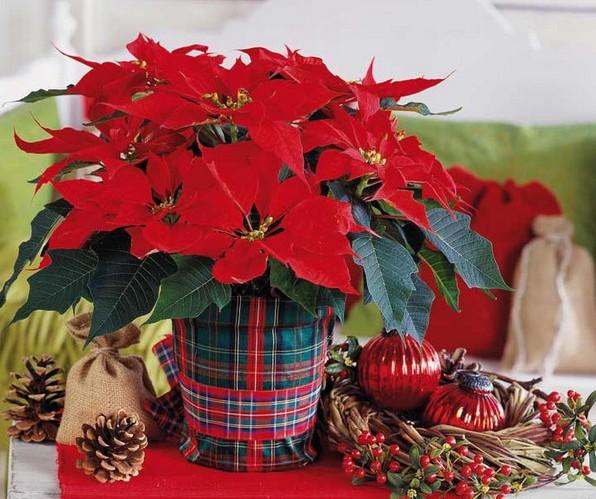 Пуансеттия - рождественская звезда, цветущая на подоконнике