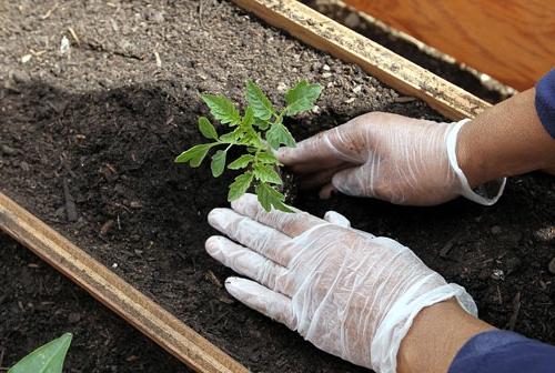 Высадка рассады помидор в балконный ящик, в грунт или теплицу