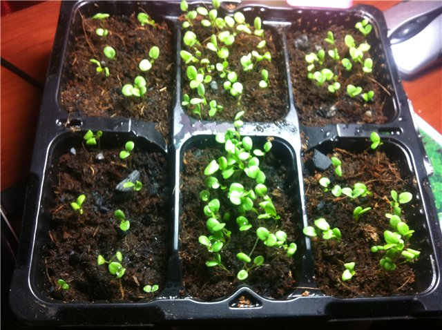 Как вырастить виолу из семян: лучшая технология