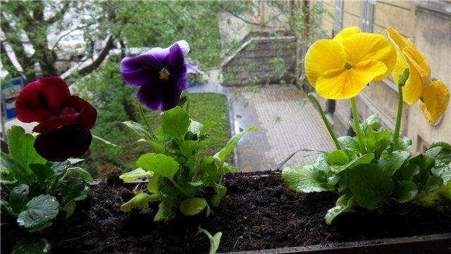 Виола - посадка и уход на балконе
