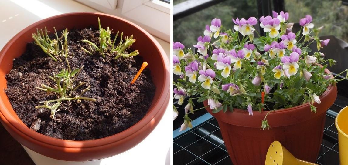 Выращивание виолы на балконе и в саду: уход за виолой, Цветок в доме