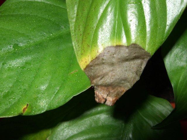 Спатифиллум: сохнут листья после залива