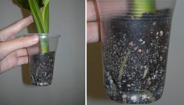 Размножение диффенбахии черенками в грунте