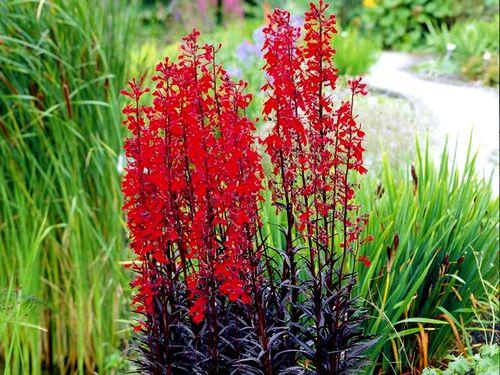 Лобелия огненная (Lobelia fulgens)