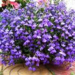 Лобелия – цветущее облако на балконе и в саду