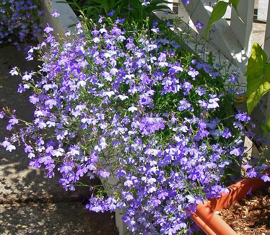 "Лобелия - фото сорта ""Голубой фонтан"" (Fountain Blue)"