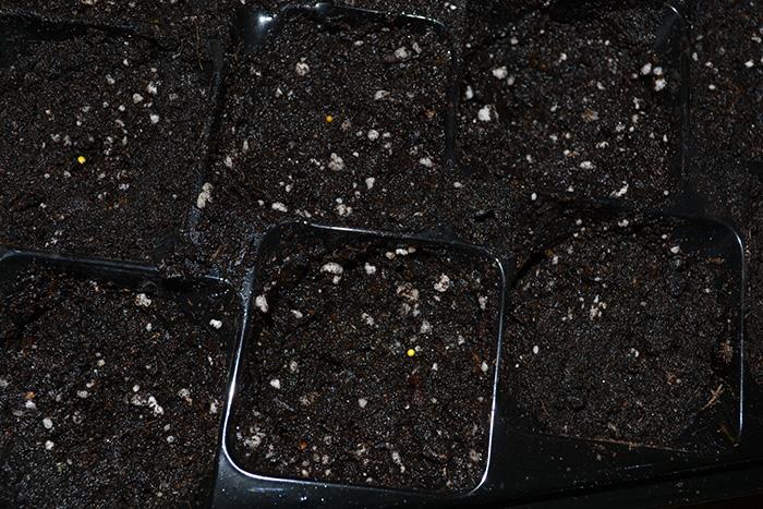 Посев лобелии семенами мультидражже
