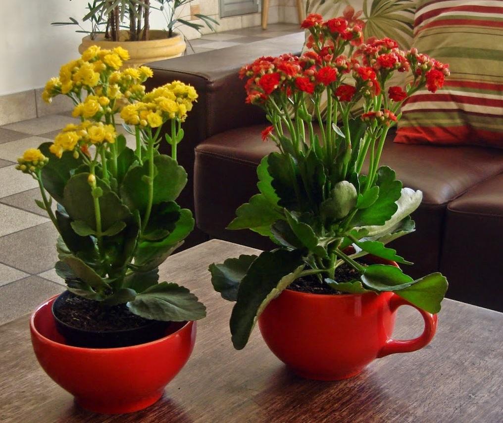 Каланхоэ - яркое цветение в пасмурные дни
