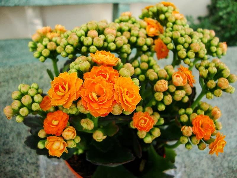 Каланхоэ может цвести несколько месяцев