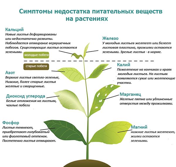 Признаки дефицита питательных веществ на рассаде перца