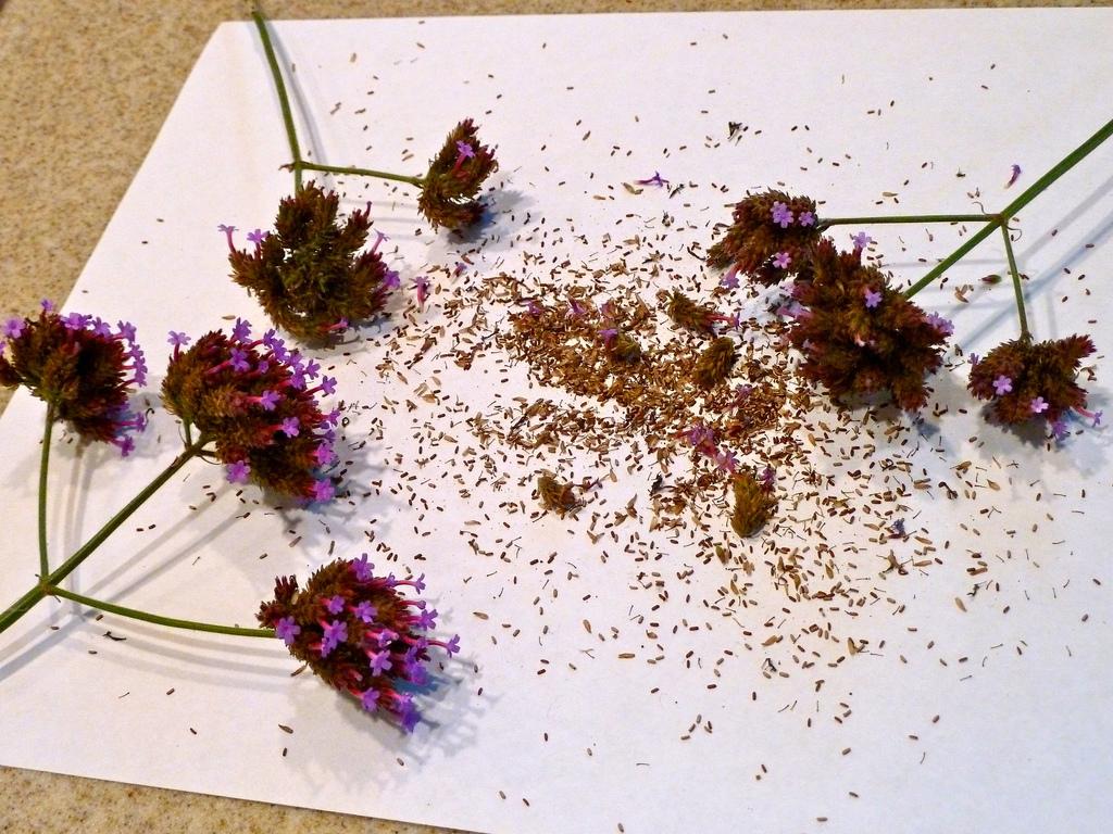 Семена вербены - фото