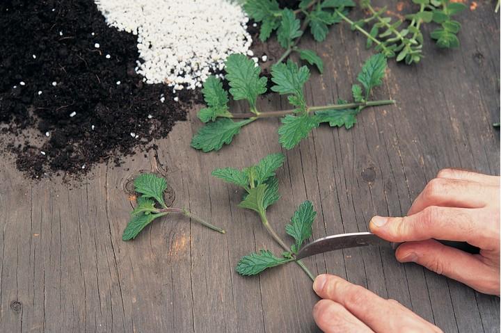 Нижние листья черенка необходимо удалить, оголив низ стебля