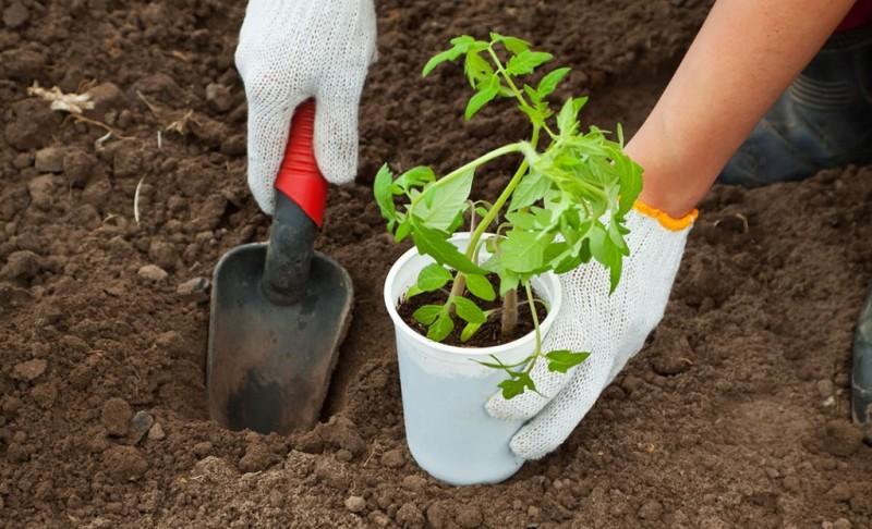 Процесс высадки рассады помидор в открытый грунт