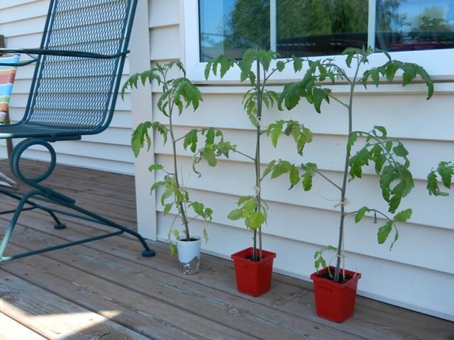Закаляться рассада томатов может на открытой веранде или террасе