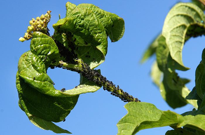 Пораженные тлей листья скручиваются и деформируются
