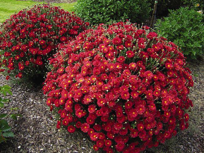 Шаровидная хризантема в период цветения