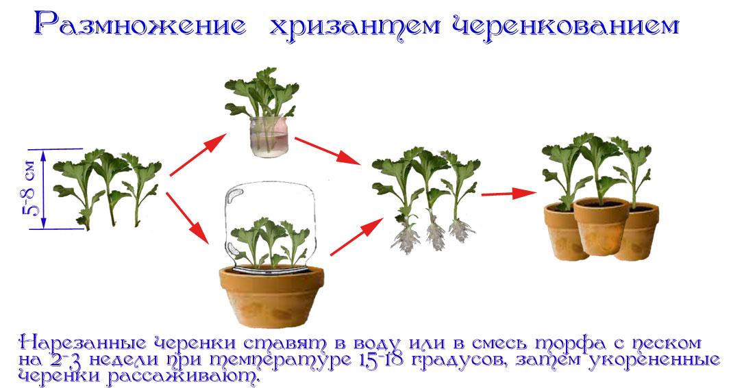 Черенкование хризантемы мультифлоры