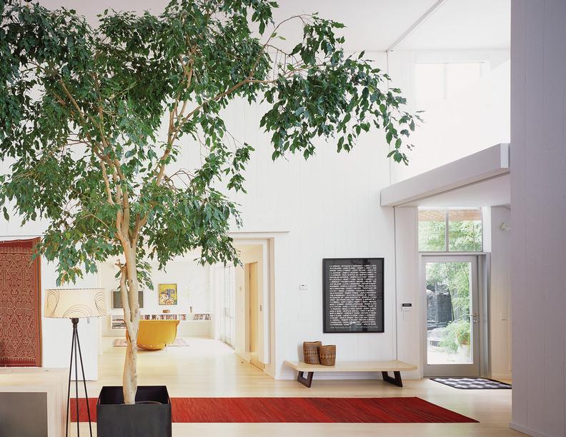 В домашних условиях фикус Бенджамина также способен вырасти в дерево