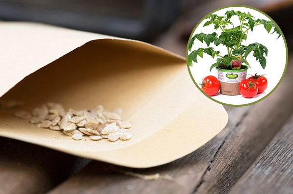Обработка семян томатов обеззараживающими и стимулирующими препаратами помогает вырастить здоровую рассаду
