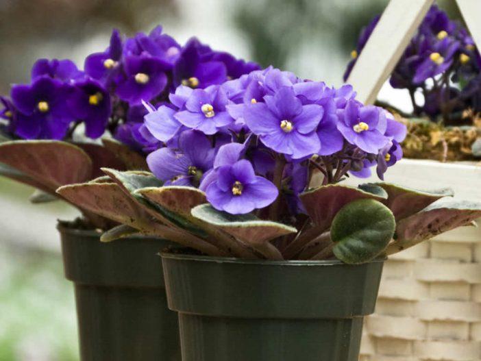 Шапочки цветов фиалки - лучшее украшение подоконника