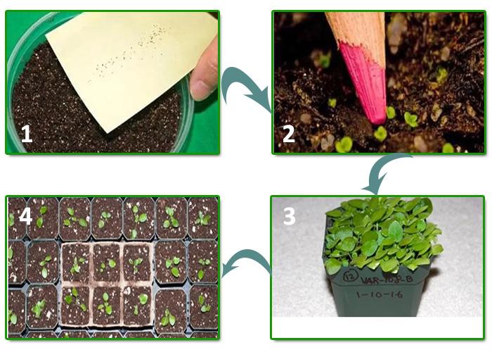 Размножение фиалок семенами