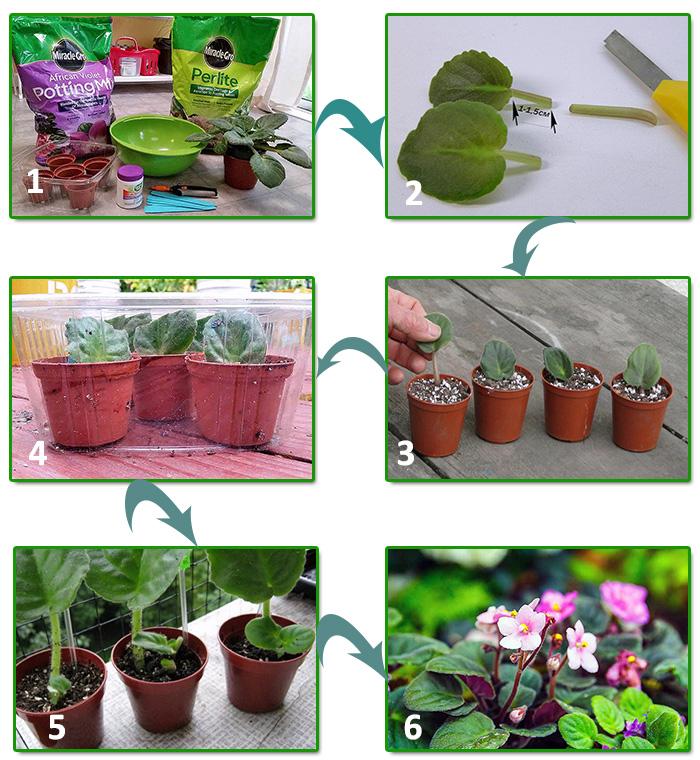 Процесс размножения фиалки листом при заглублении в грунт