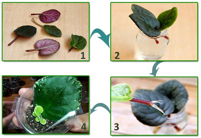 Размножение фиалки листом пошагово - укоренение в воде