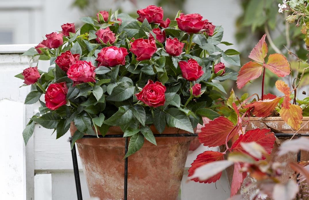 Комнатная роза в горшке обязательно станет украшением вашего подоконника или сада