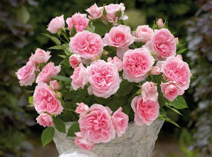 Комнатная роза Cajsa из серии PARADE