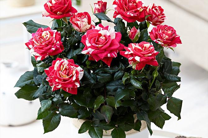 Роза Imola из серии PATIOHIT®