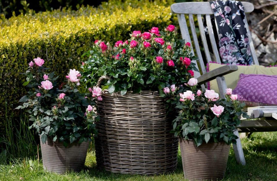 Часто миниатюрные розы в горшках на лето выносят на балкон или в сад
