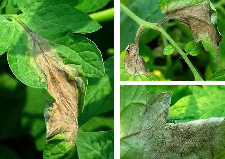 Поражения листьев томатов при фитофторе