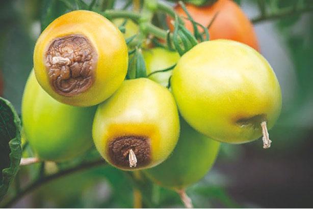 Вершинная гниль на томатах - фото пораженных плодов