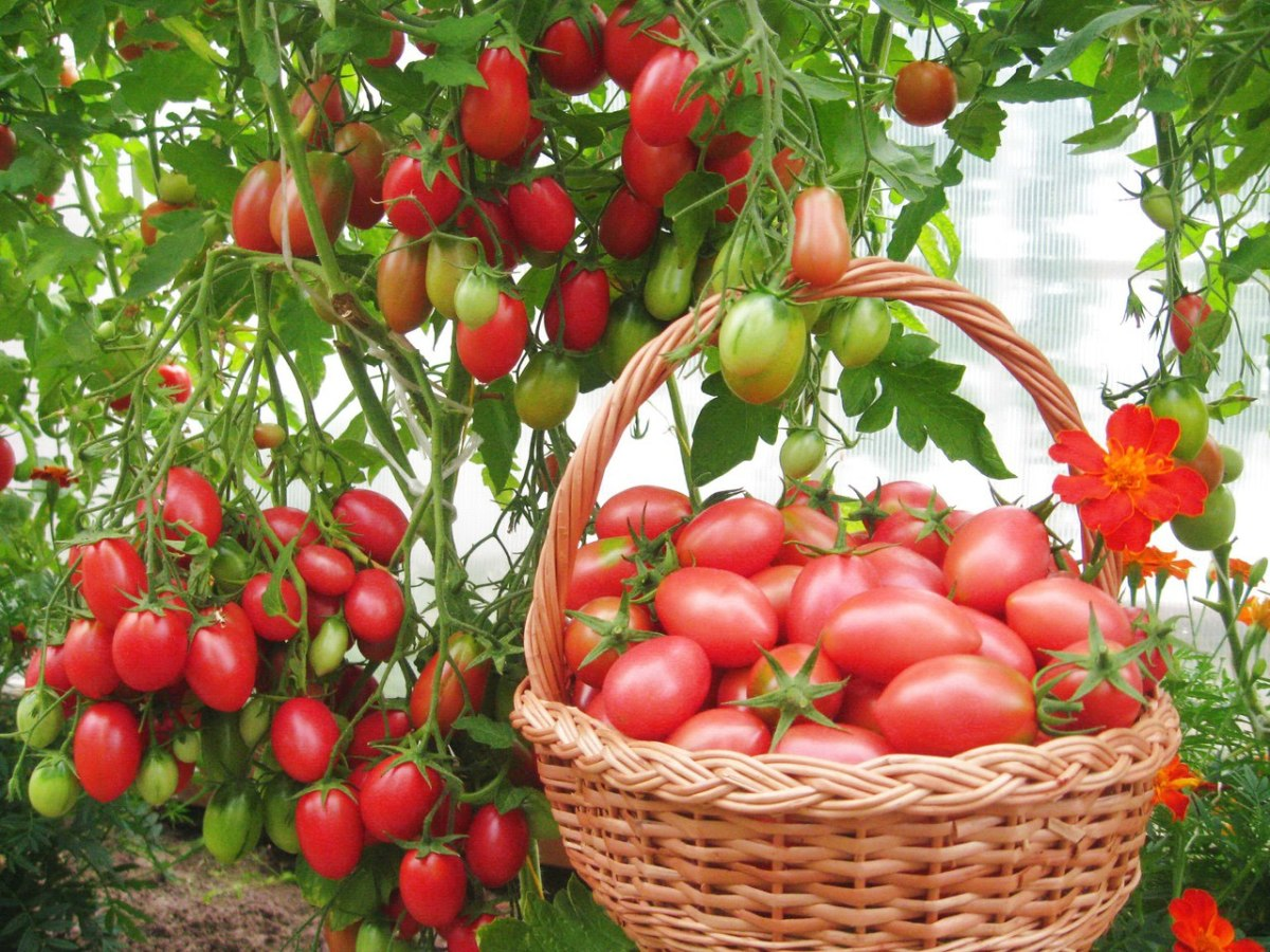 Лечение и профилактика вершинной гнили на томатах