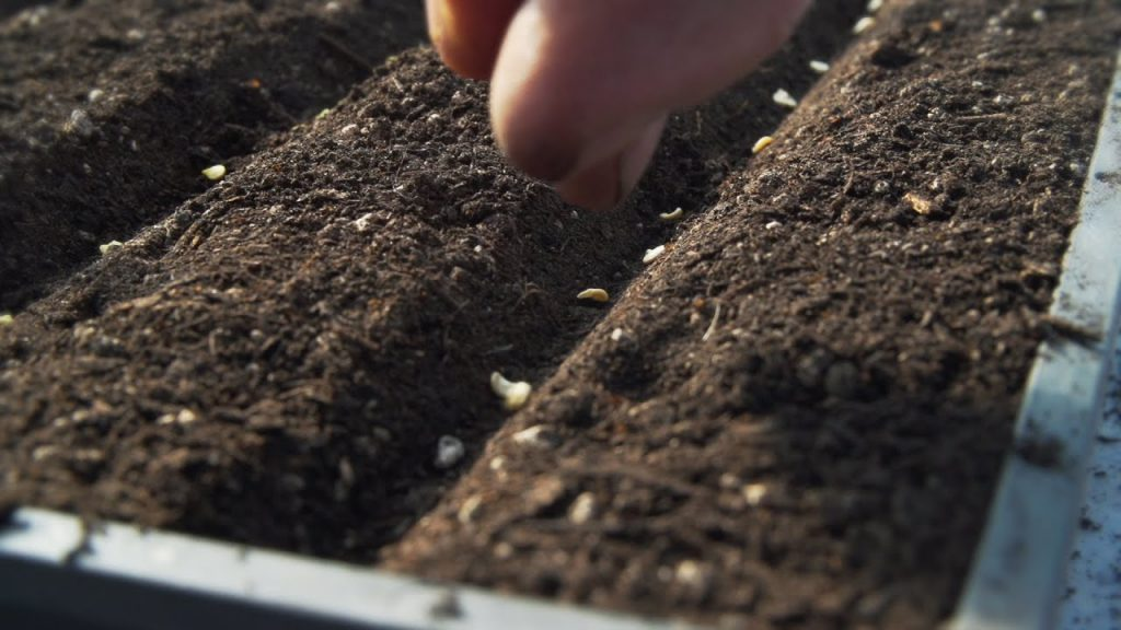 Семена томата заделывают на глубину 1-1,5 см