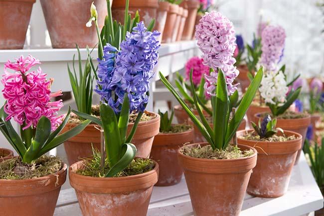 Гиацинт - садовый цветок, выращиваемый в горшках