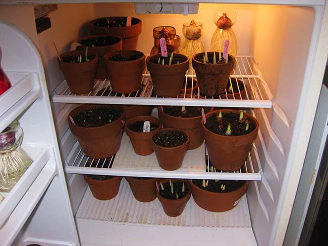 Хранить посадки гиацинтов можно в холодильнике